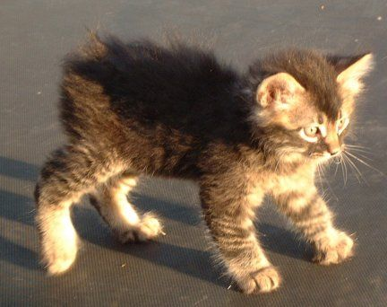Manx Polydactyl Polydactyl Manx Kittens For Sale In 2020
