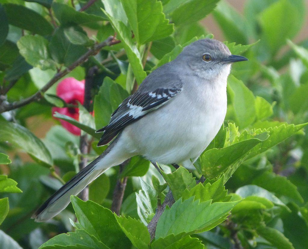 Arkansas State Bird Northern Mockingbird
