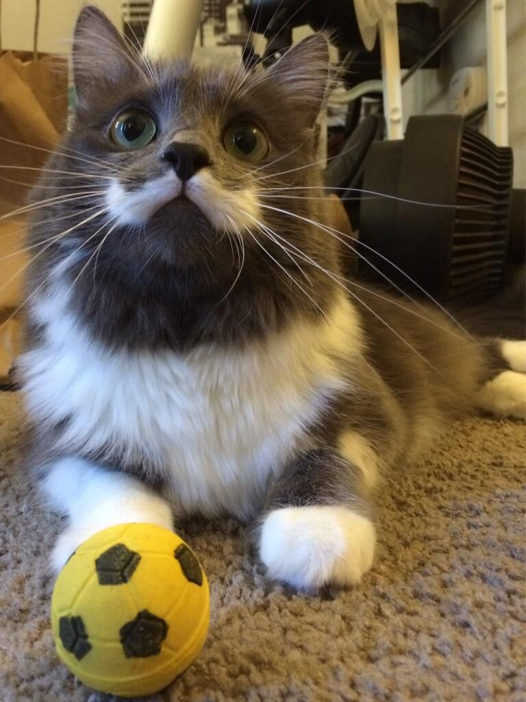 Hamilton the Hipster Cat (TheMustacheCat on Twitter