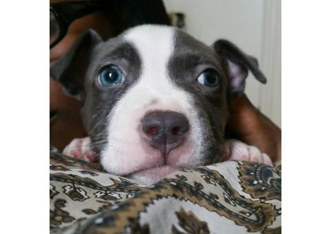 Blue Nose Pitbull Puppies For Sale Pitbull Puppies For Sale