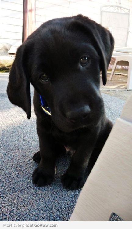 Most Inspiring Lab Black Adorable Dog - 5dbd5dc12215595248492030cbafd7f7  Snapshot_191762  .jpg