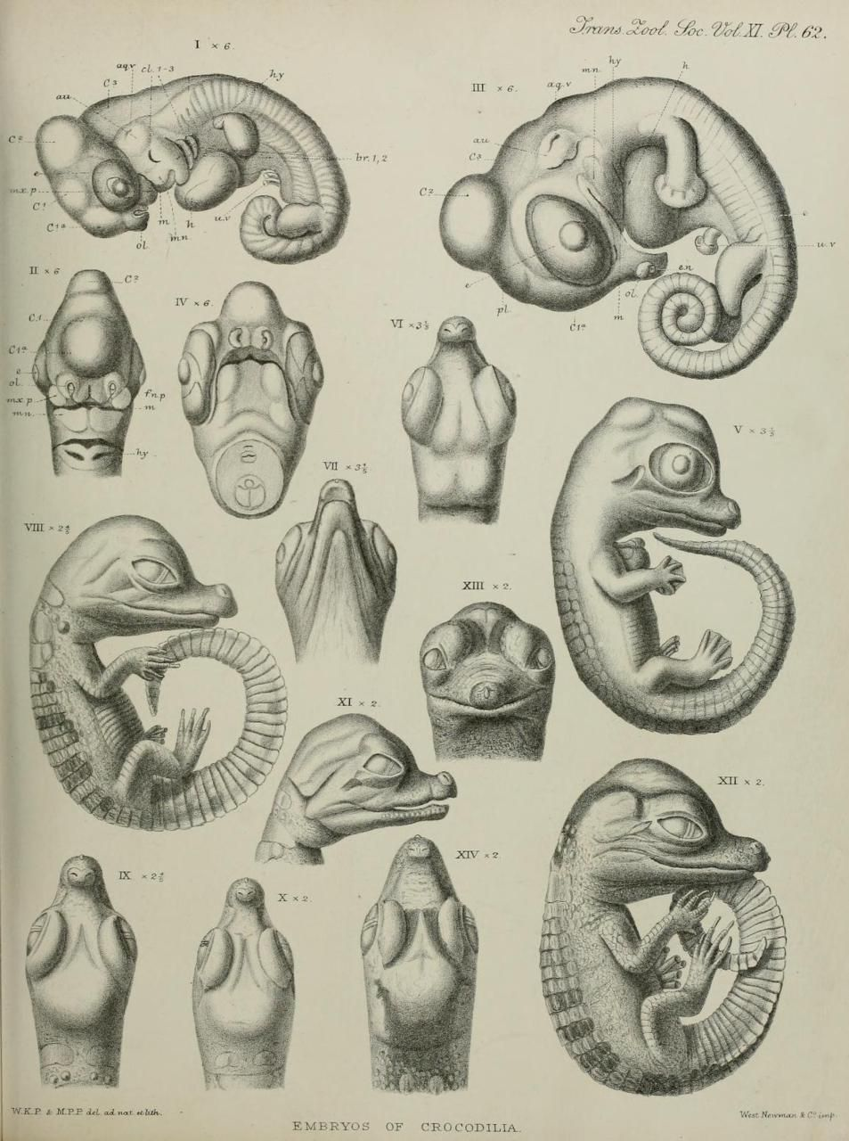 Alligator and Crocodile Embryos. Transactions of the Zoological ...