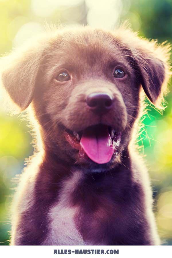 Labrador Retriever Welpe - Hunde für Anfänger, die Top 13 Hunderassen