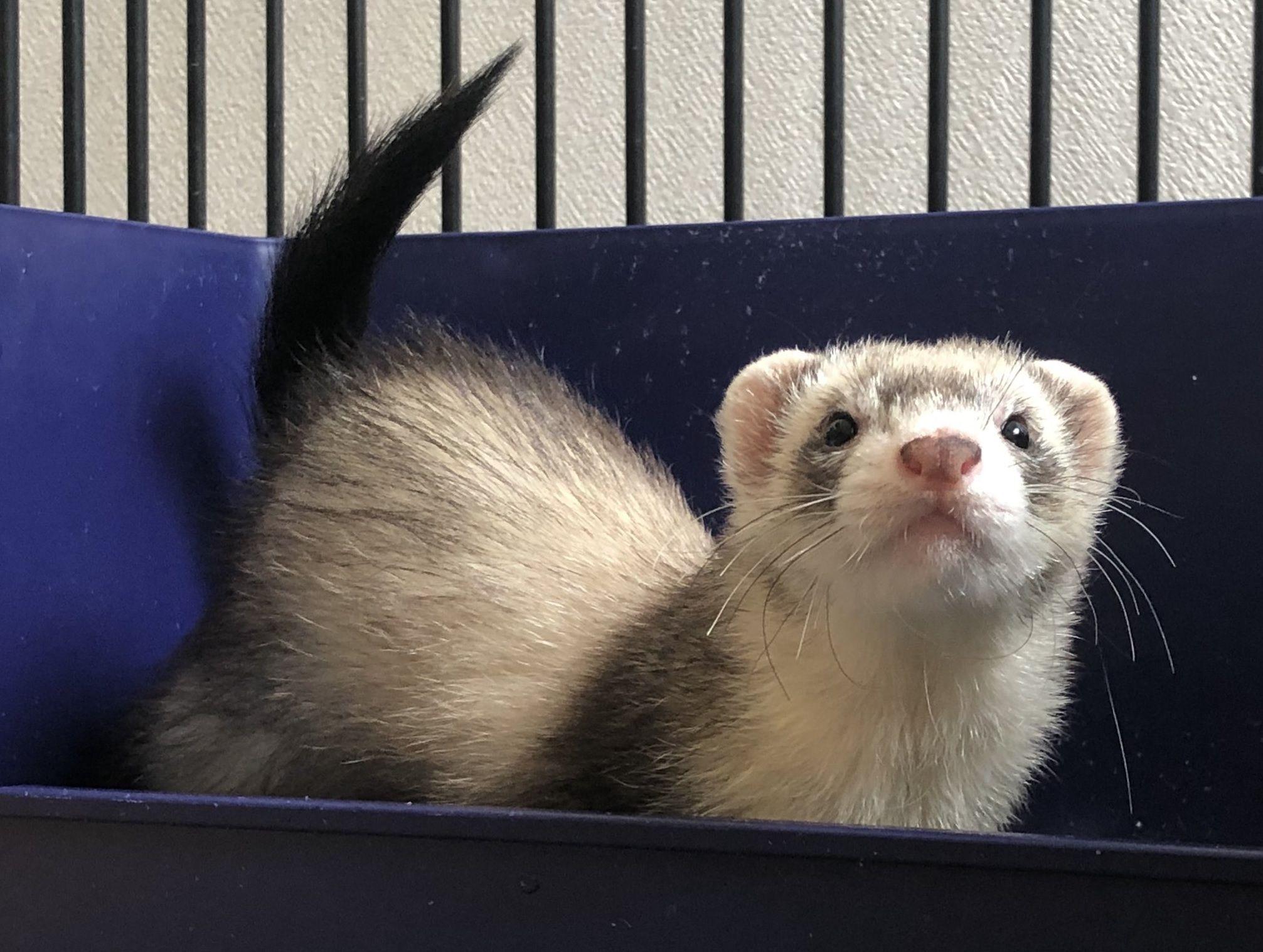 フェレットの種類 ファーム別まとめ 特徴 価格 飼いやすさを徹底解説 エキゾチックアニマル フェレット かわいい 小動物