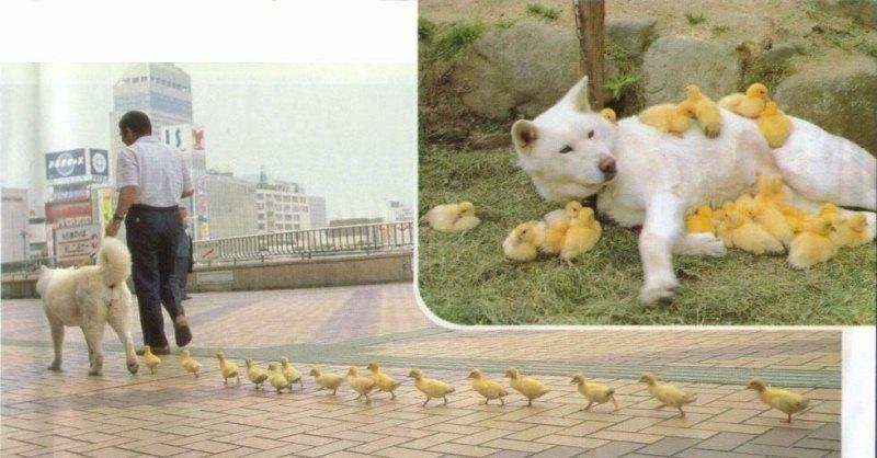 I can't get enough animal adoption stories: this white Akita dog