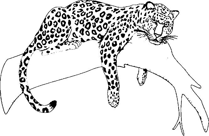 Images Of Coloring Pages Of A Jaguar Animal Sabadaphnecottage