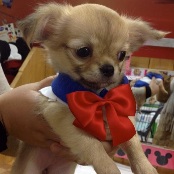 Chihuahuas Sailor Moon! | Nerd Da Hora