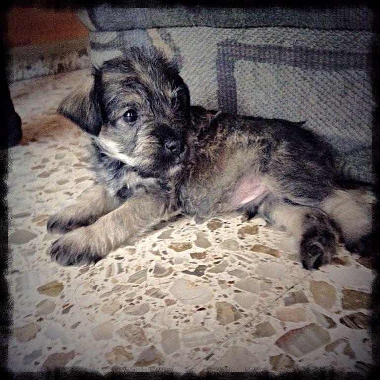 El pequeño Eddie!!! #Schnauzer