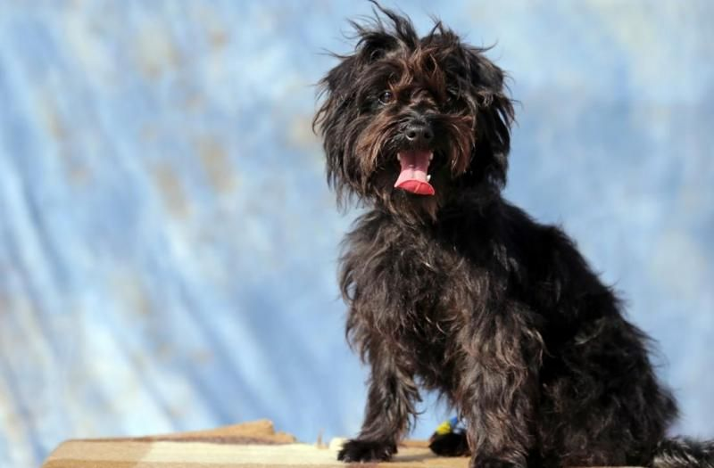 Ben Is A Beautiful Scottish Terrier Scottie Maltese Mix Up For Adoption In San Pedro Ca He S Available Throu Fluffy Puppies Scottish Terrier Dogs And Puppies