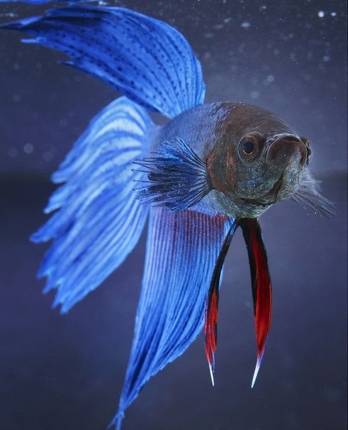 Male Betta Fish By Strobist The Ocean Awaits Asked Do You Know Anything About Betta Fish Ive Learned About Them And I Am Know A Pro Betta Fish Betta Fish