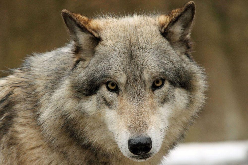 Wolf von Werkis