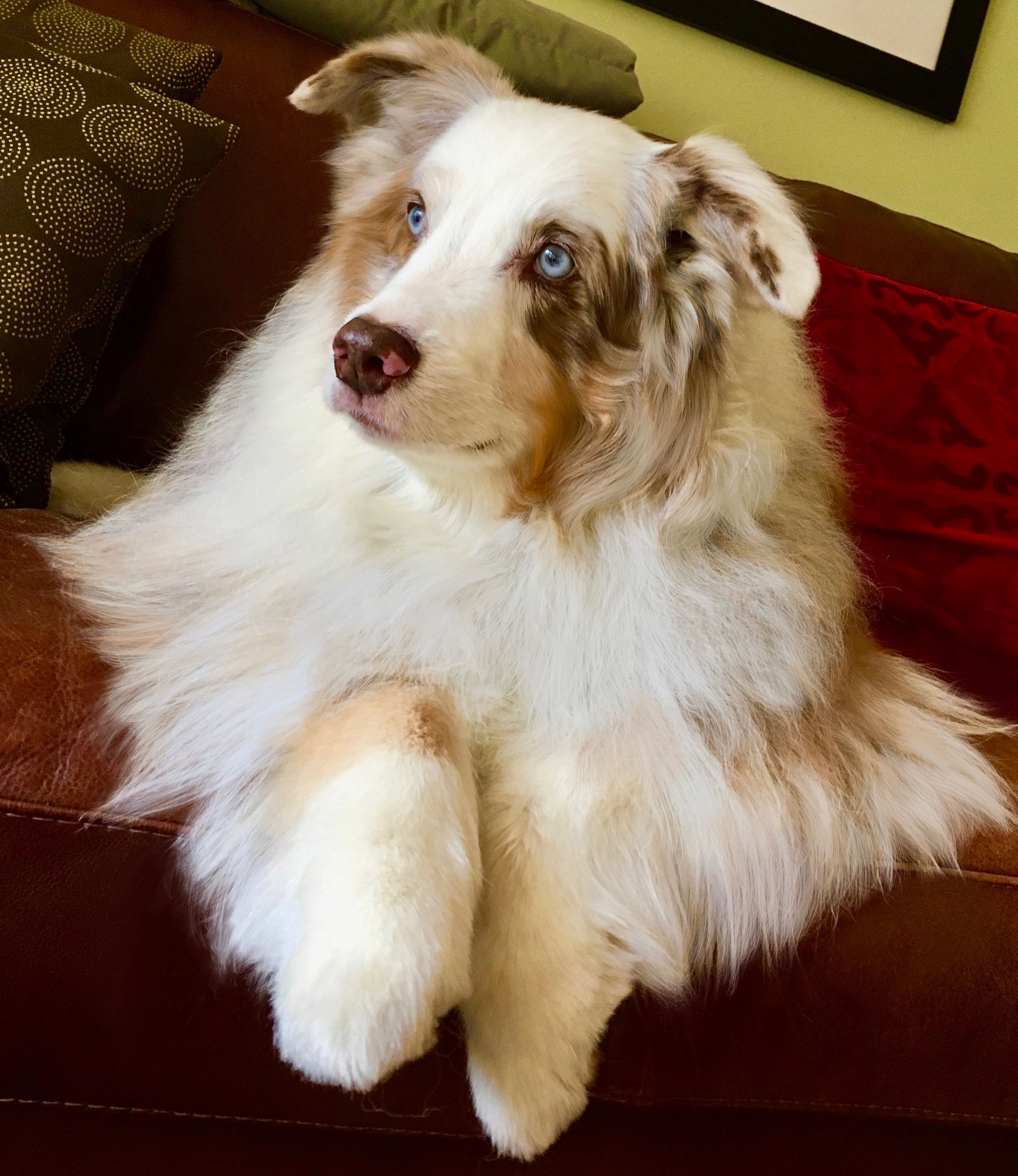 Australian Shepherd Dogs and puppies, Cute dogs, Cute