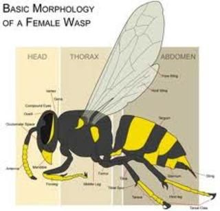 Only Female Wasps Have A Stinger Where Males Do Not As The