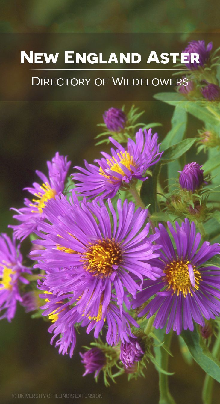 Directory Of Wildflowers New England Aster Aster Novae Angliae Wild Flowers Beautiful Flowers Photography Pollinator Garden