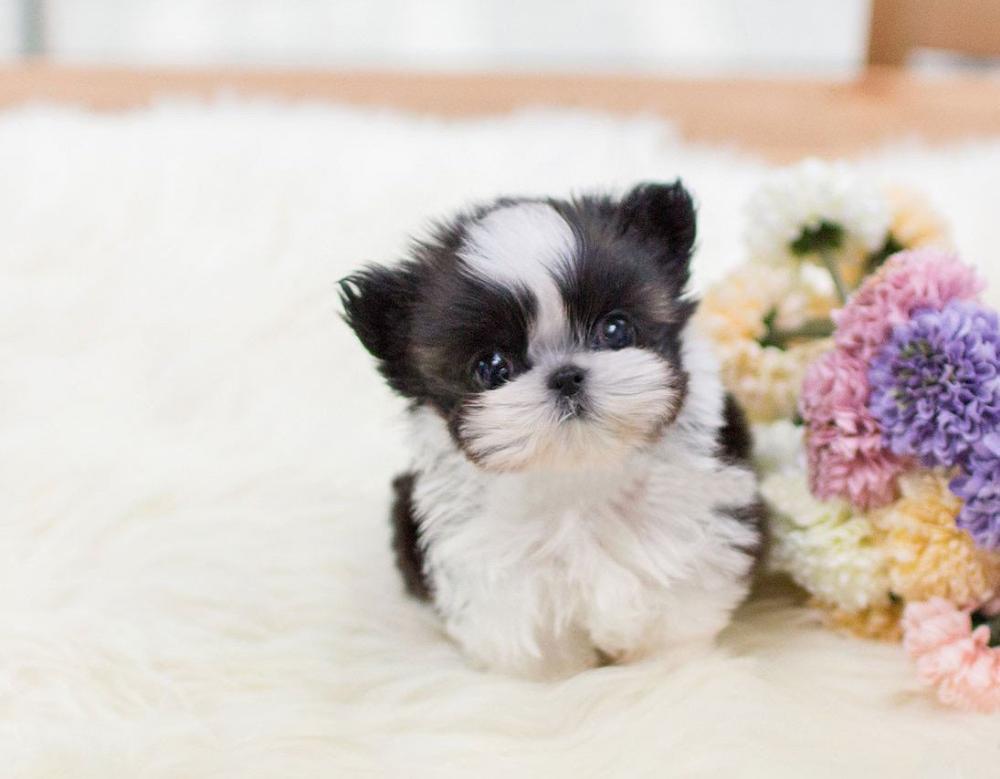 Available Shihtzu Puppies Spot Shih Tzu Shih Tzu Puppy Biewer Yorkie