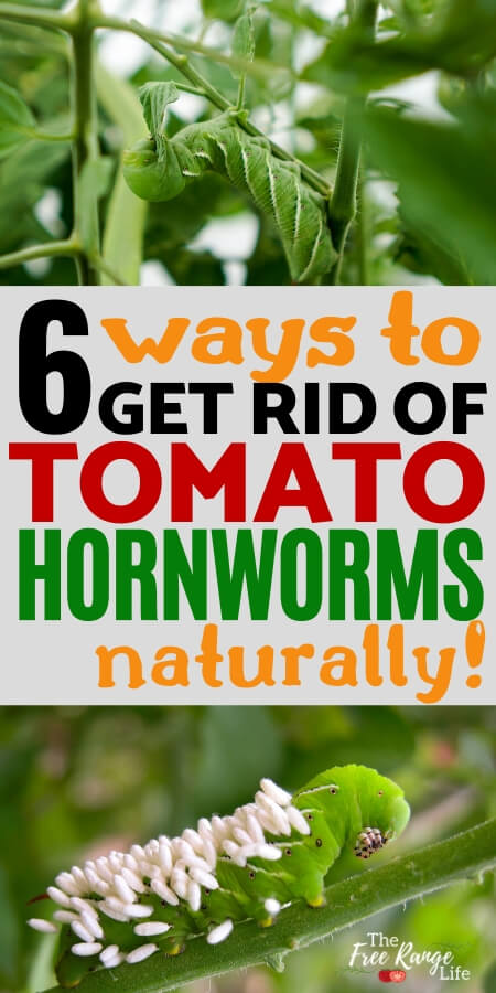 How To Get Rid Of Caterpillars On My Tomatoes