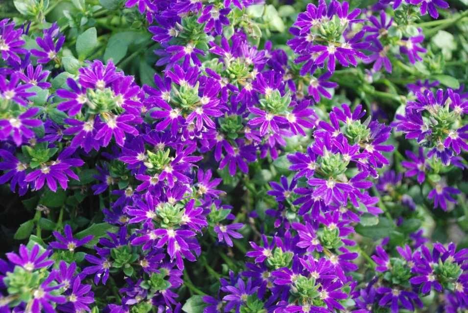 50 Scaevola Surdiva Blue Violet Live Plants Plugs Garden Home Diy Planters 115 Blue Garden Plants Diy Planters