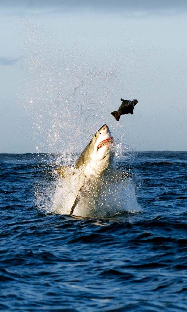 Fotógrafo brasileiro flagra ataque de tubarão branco a foca na ...