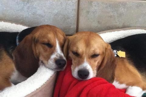 Rudolph And Dreidel Beagle Freedom Project Rescues Puppy Teeth