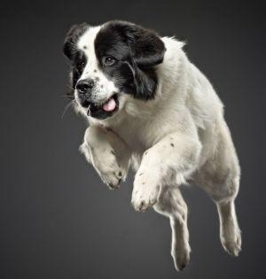 The bounding hound