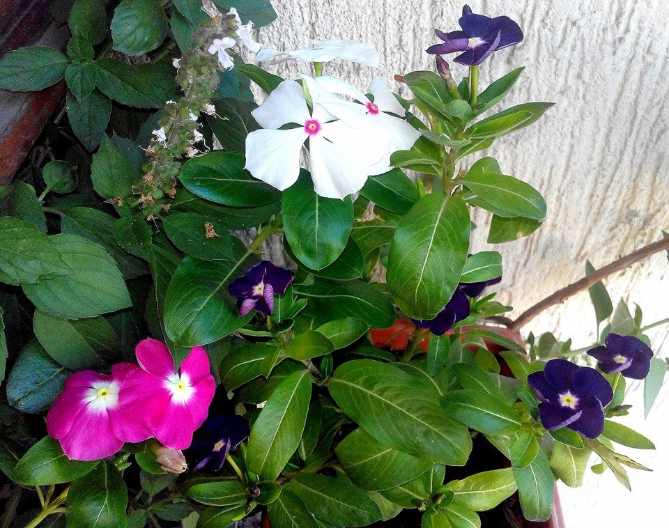 ثلاث الوان من الونكا و معهم ريحان Three Colors Of Vinca With Basil From My Balcony Plants Growing