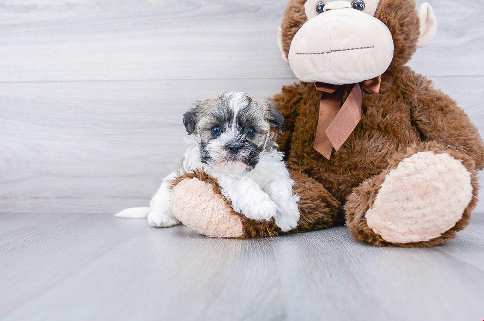 Havanese puppies for sale ohio havanese pups online in