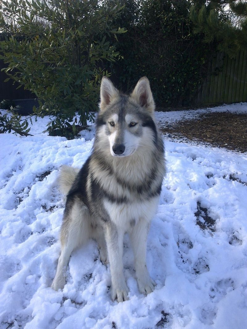 International Breeders Of British Timber Dogs And Northern Inuit
