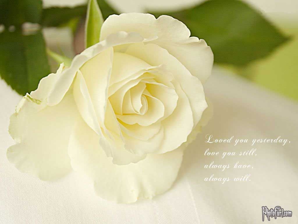 White Is Beautiful Images Rose Wallpapers White Rose Wallpaper Desktop Beautiful Background White Flower Wallpaper Rose Flower Wallpaper