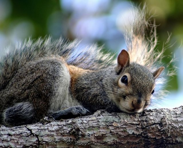 How To Keep Squirrels Out Of Your Attic Avoid Roof Damage Squirrel Garden Animals Animals