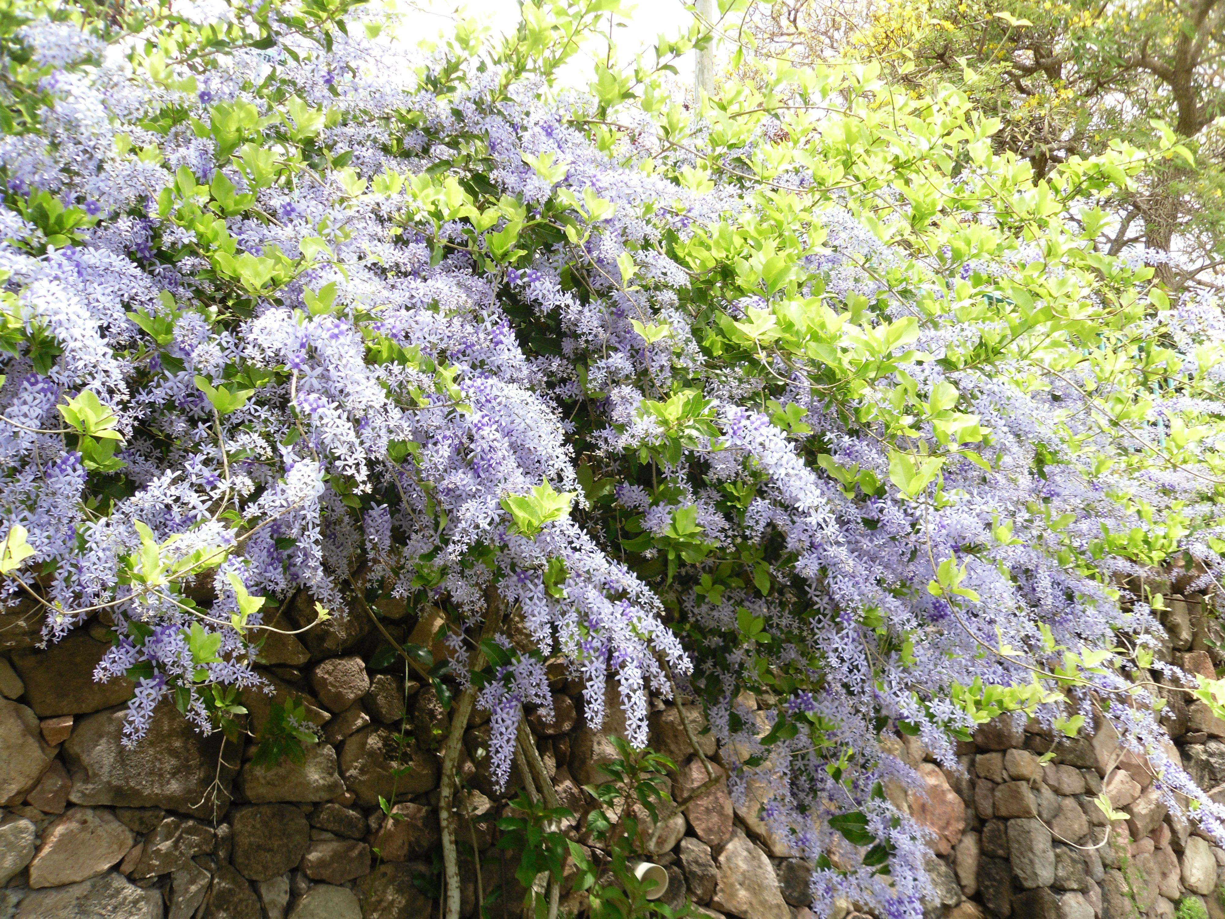 Lilac, Nevis Botanical Gardens