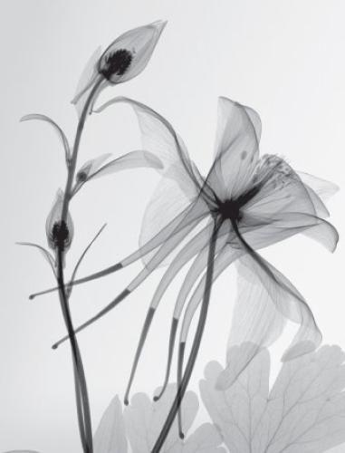 X-rays of flowers...Columbine II