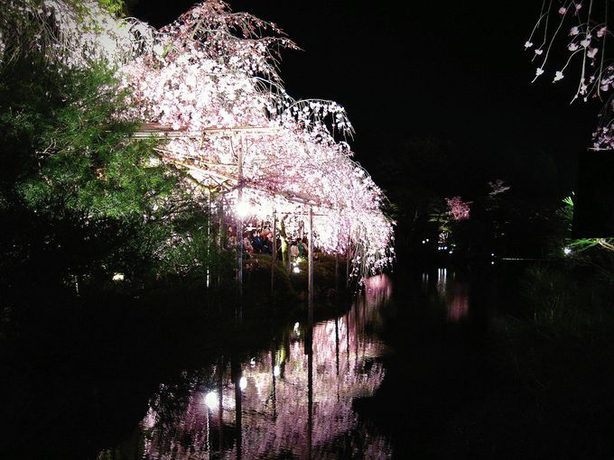 Sakura / 幽玄なり!夜桜と音楽の饗宴!「平安神宮紅しだれコンサート」 | 京都府 | [たびねす] by Travel.jp