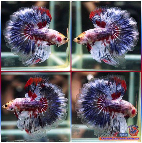 Pin by Marianne Sans on Beautiful Betta Fish Betta fish