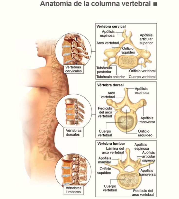 Anatomía de la columna vertebral #fisioterapia   Fisio   Pinterest ...