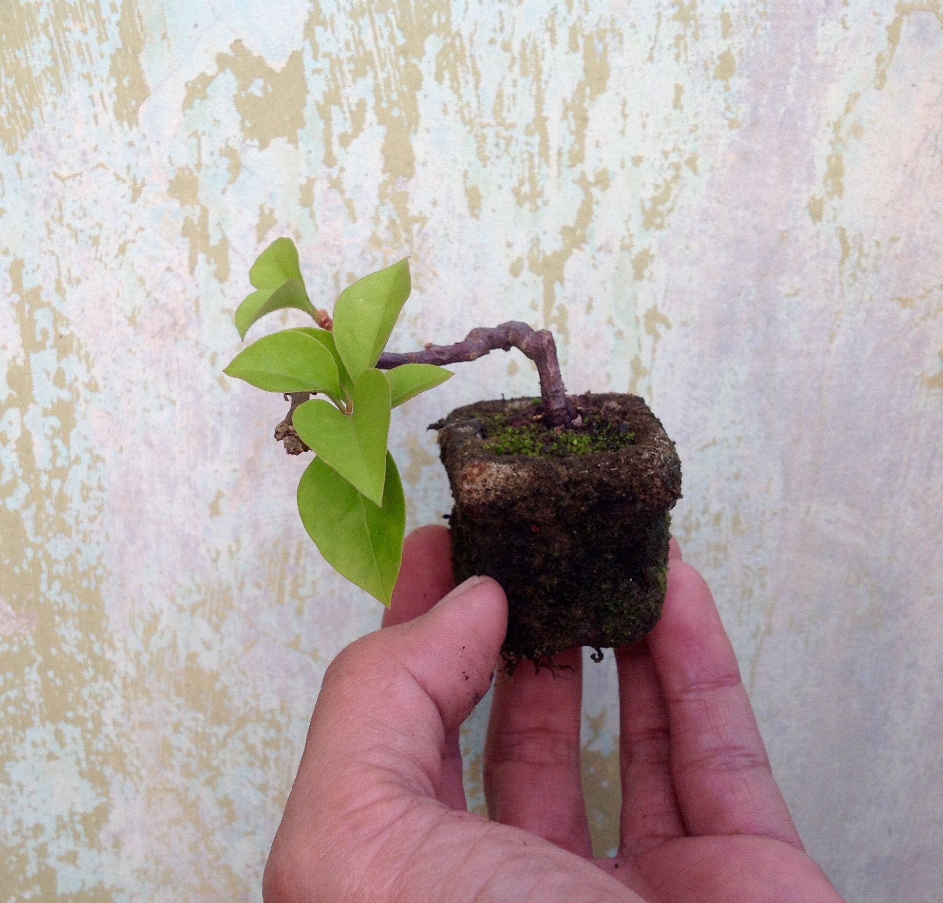 Bougenville Mini Bonsai Mybonsai Mini Bonsai Bonsai