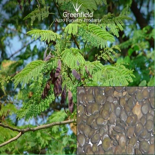 White Khair Tree Seeds Acacia Catechu Jangale Seeds Tree Seeds