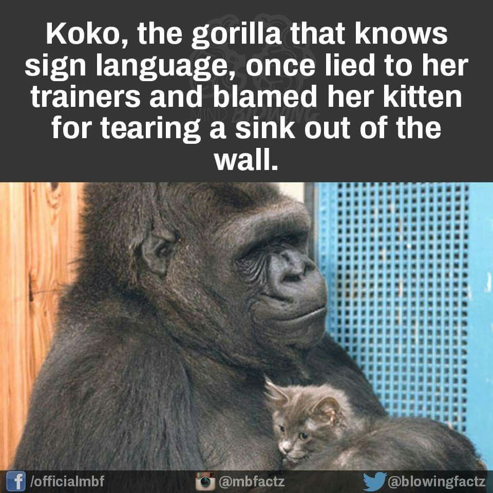 Blame the cat.... (With images) Amusing, Funny, Gorilla