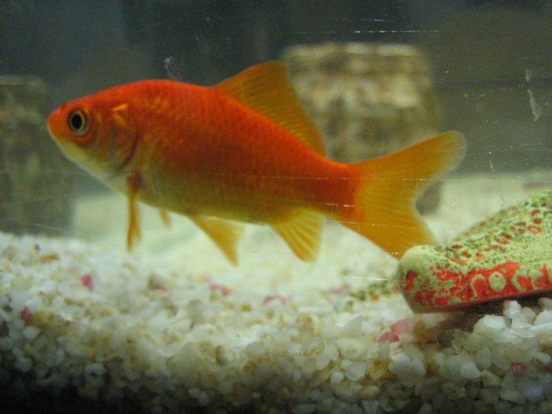 En partant de l 39 album le petit poisson rouge inspir du for Recherche poisson rouge
