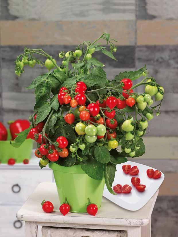 Trucs pour la culture de la tomate | Tomates, Culture tomate et Planter des fleurs