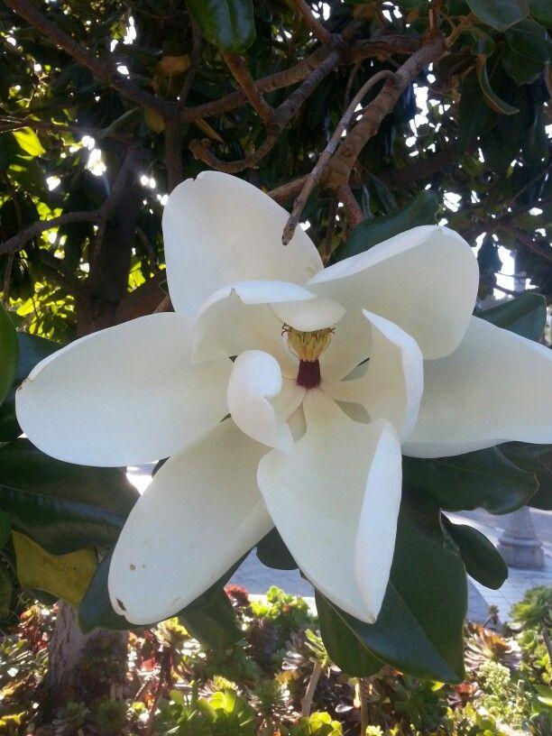 On my walk today  #magnolia