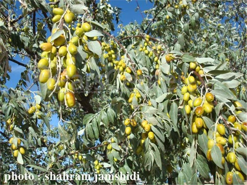 پارس سنتر محصولات سنجد نهال سنجد درخت سنجد Oiltree Oleaster Small Trees Wild Olive Shrubs