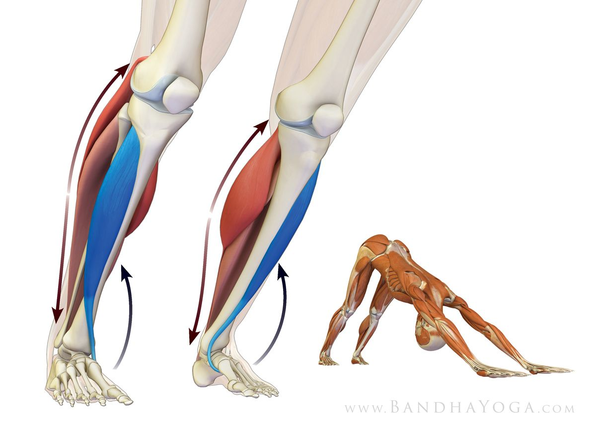 Figure 2 The Tibialis Anterior As Agonist And Gastroc Soleus As