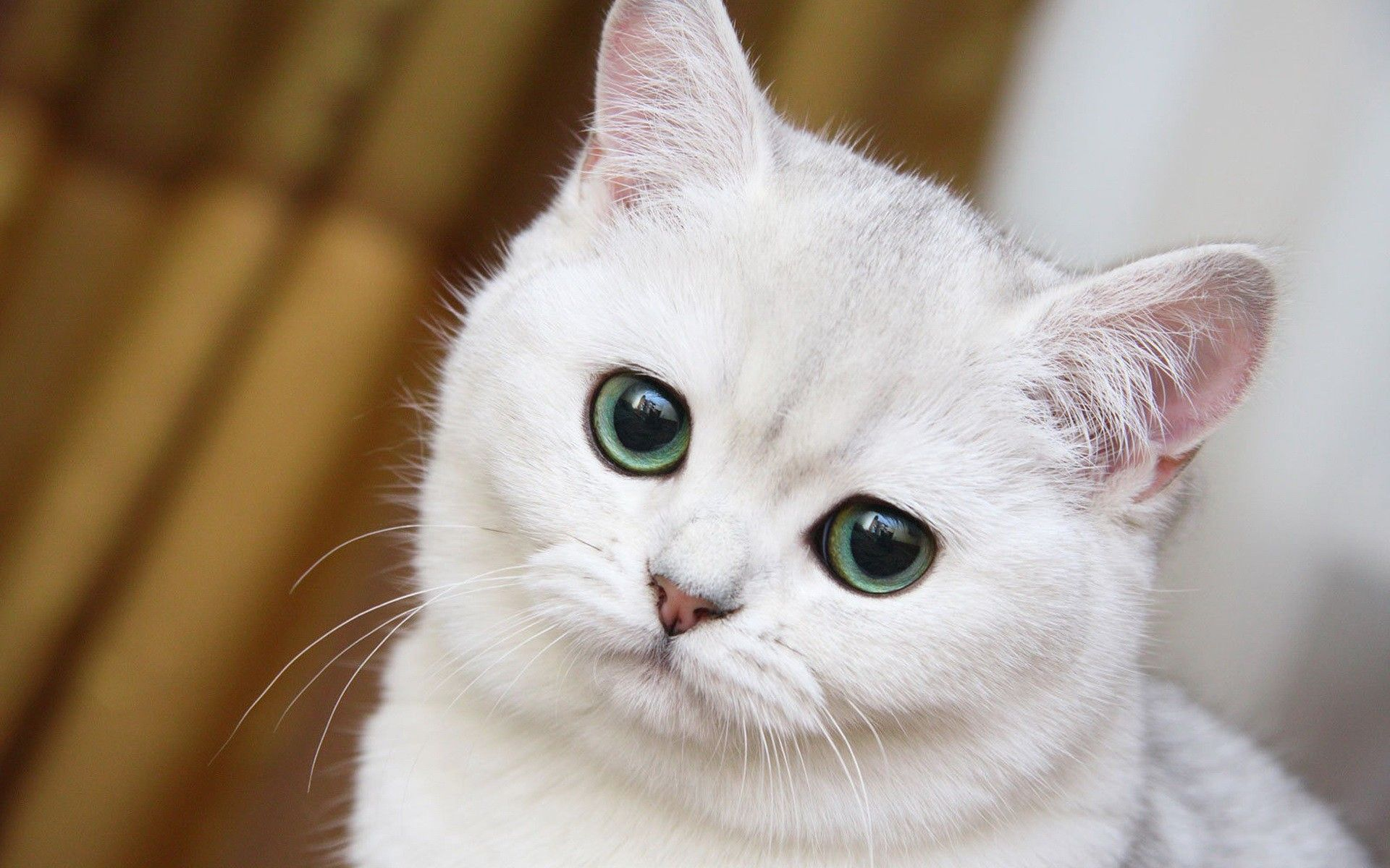 Wallpapers Chats Pack 003 Wallpapers Partage Chats Blancs Chat Blanc Animales