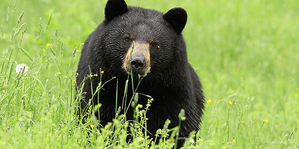 Black Bear Black Bear Bear Bear Images