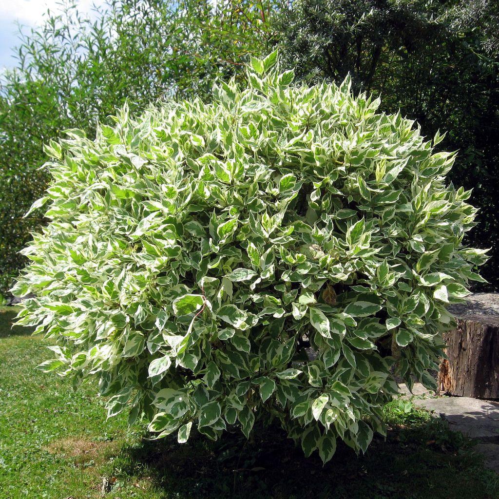 C mo elegir rboles de crecimiento r pido jardiner a for Arboles perennes de crecimiento rapido