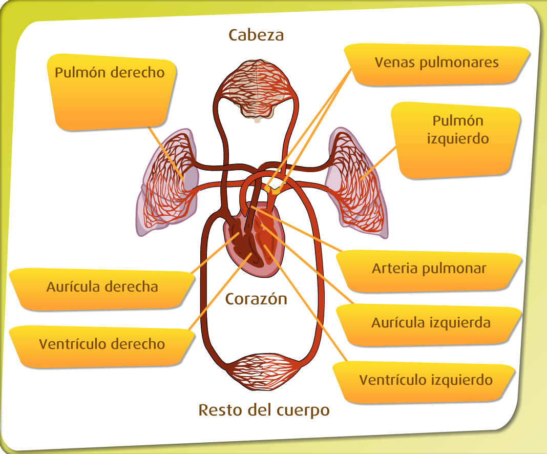 Higiene Del Sistema Respiratorio: Aparato Circulatorio