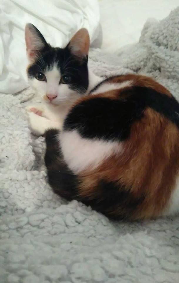 Missing 8 Month Old Kitten In Becontree Dagenham My Kitten Missy Has Been Gone For Over 24hrs Now And We Are Very Worried Sh Found Cat Cat Uk Little Kittens
