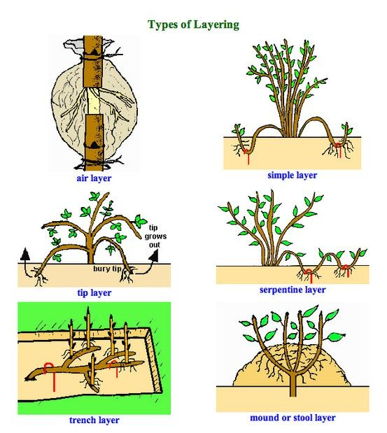Plant propagation types of layering gardening for A gardener is planting two types of trees