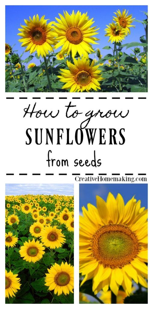 Growing Sunflowers from Seed | Herbs | Growing sunflowers ...