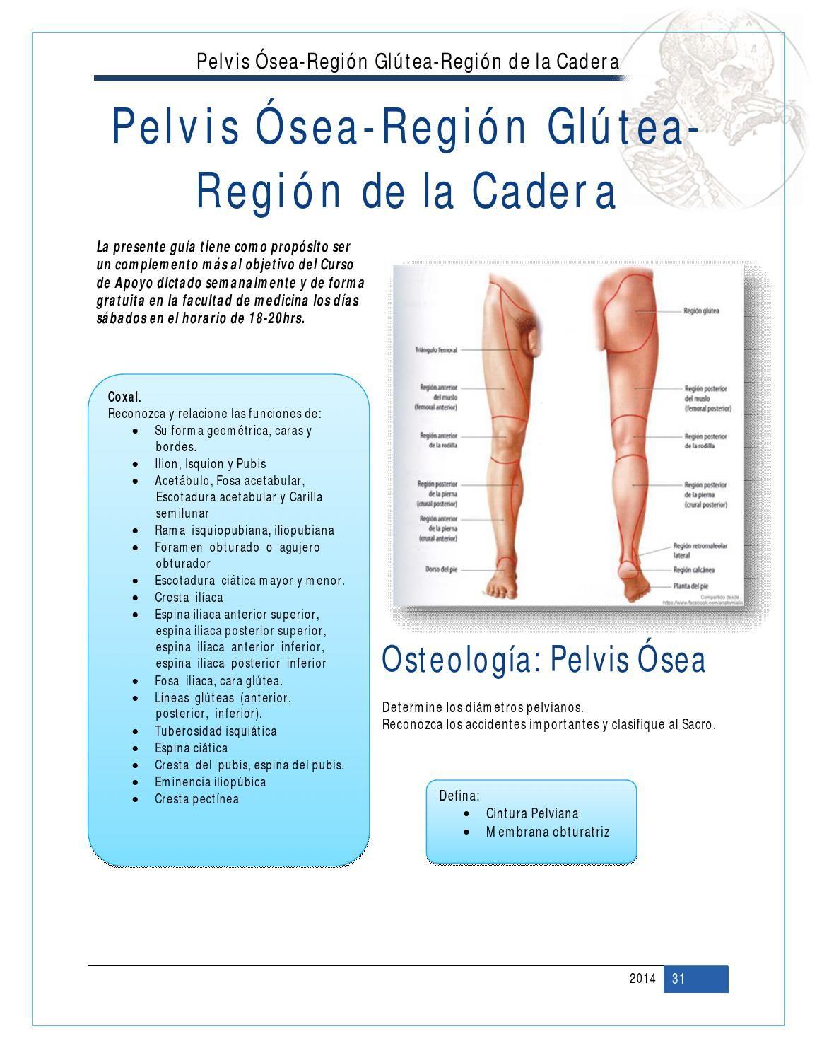 Perfecto Anatomía Región Glútea Elaboración - Imágenes de Anatomía ...